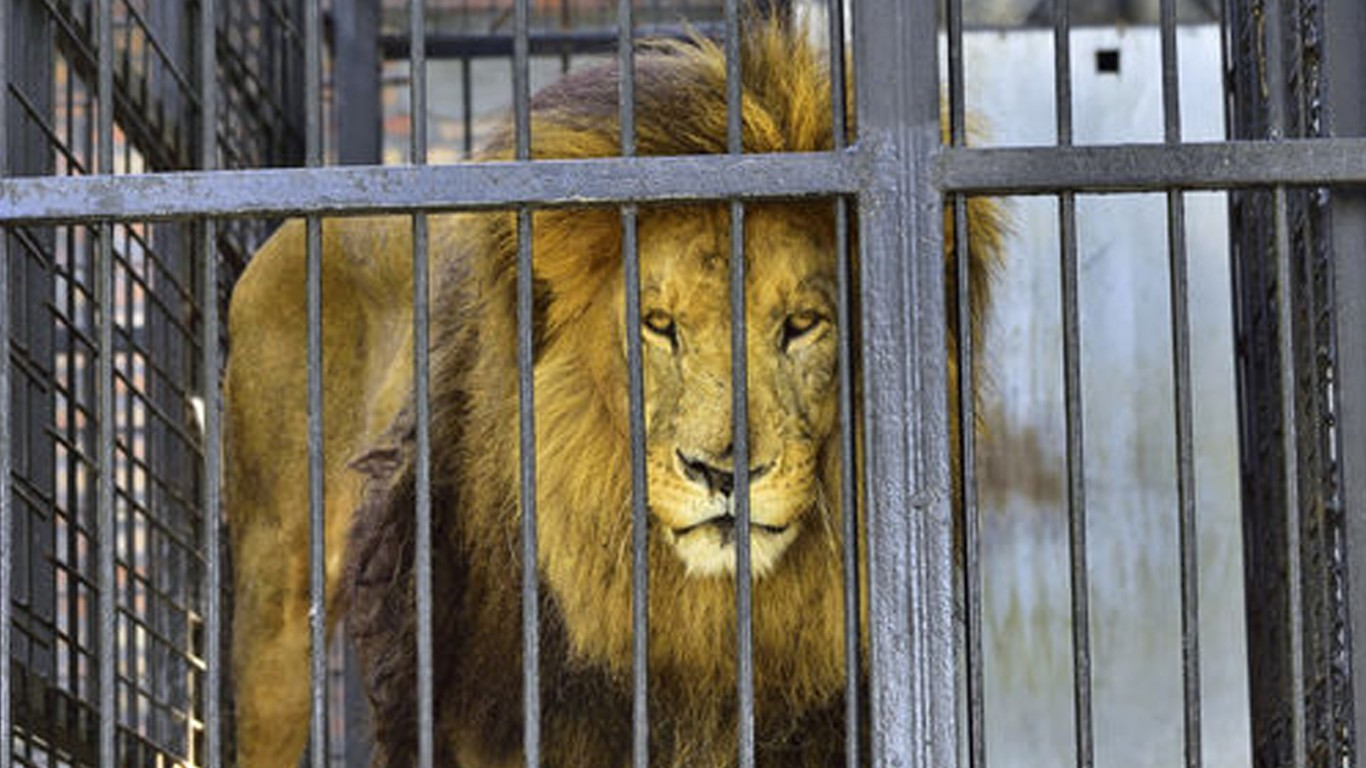 Did you know that lion farms are thriving in South Africa?