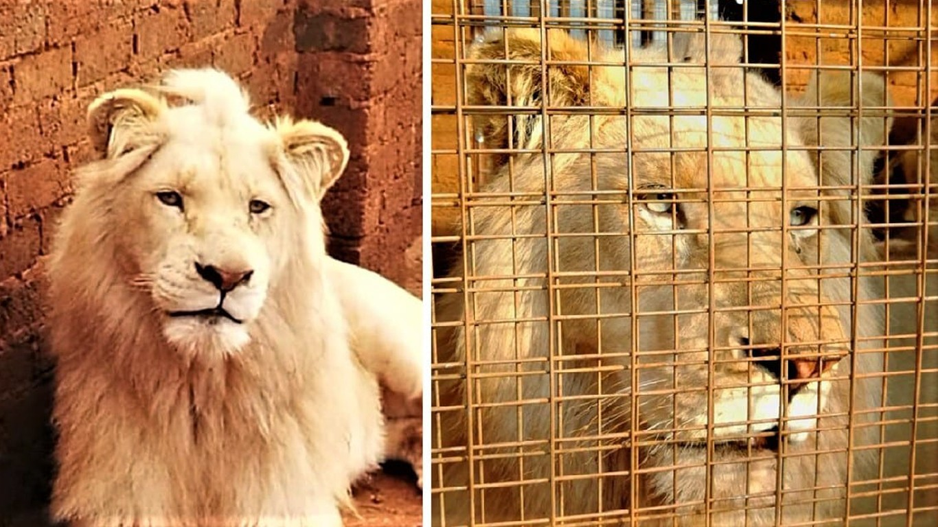 Help Save Musafa, the majestic lion!